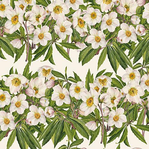 Helleborus weiß - Christrose - Papier Grafiche Tassotti