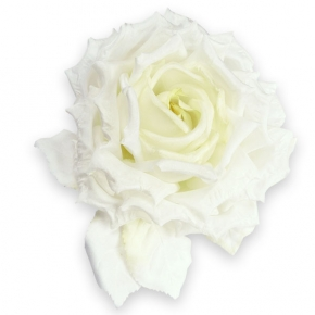 cremefarbene gefüllte Rose von Heinz Müller